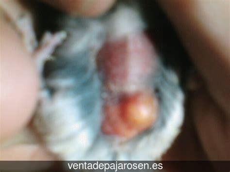 Venta de pajaros en Cortelazor , Huelva   Venta De Pajaros