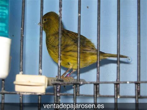 Venta de pajaros en Masnou , Barcelona   Venta De Pajaros