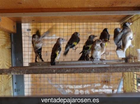 Venta de pajaros en Valdetorres , Badajoz   Venta De Pajaros