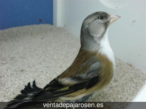 Venta de pajaros en Viloria , Valladolid   Venta De Pajaros