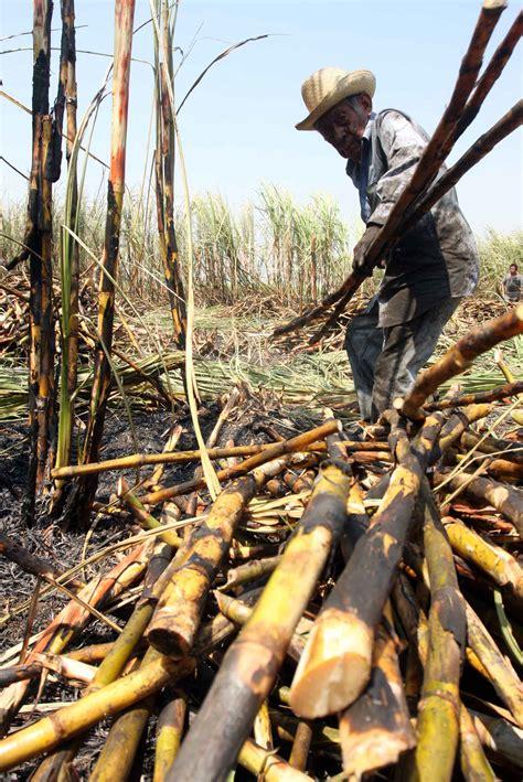 Veracruz, líder en producción de caña de azúcar   Hora Cero