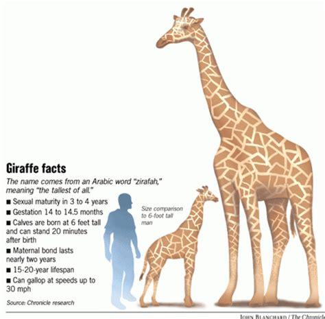 Very big baby / New Oakland Zoo giraffe needs name   SFGate