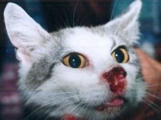 Veterinaria Misha: Carcinoma de Células Escamosas en felinos