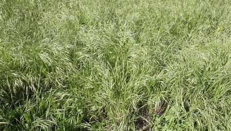Vídeo stock de Wild Oat Grass Swaying in  100% livre de ...