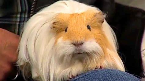 Viernes de mascotas: el cuyo o conejillo de Indias   YouTube