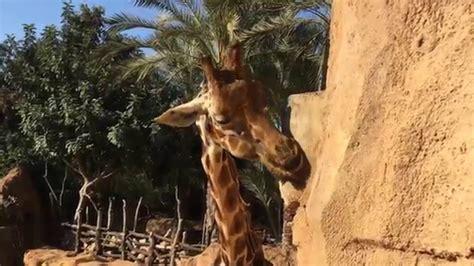 Visita al Bioparc de Valencia   YouTube