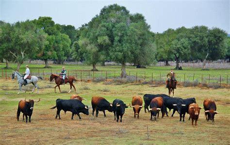 Visita ganadería de toros bravos en Cádiz   Guías Viajar