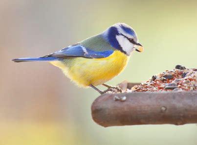Vogelpfeife Blaumeise Vogellockpfeife   Vogel  und ...