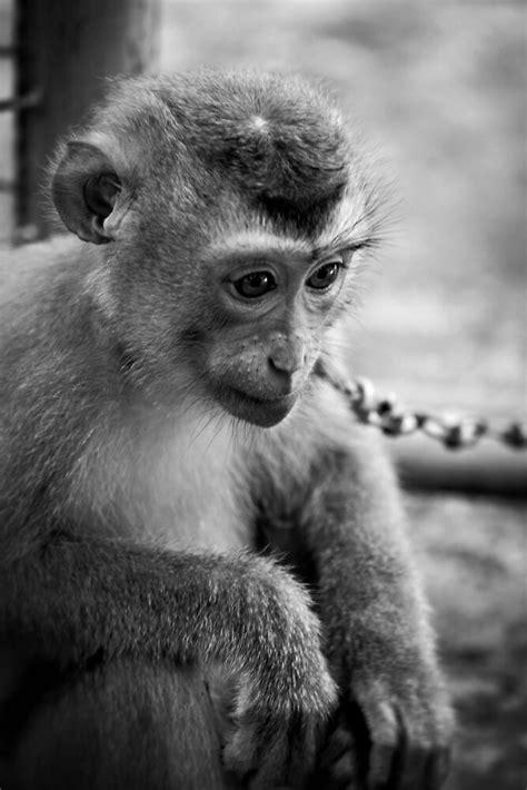 waiting monkey  black & white   by Martin Pot   Redbubble