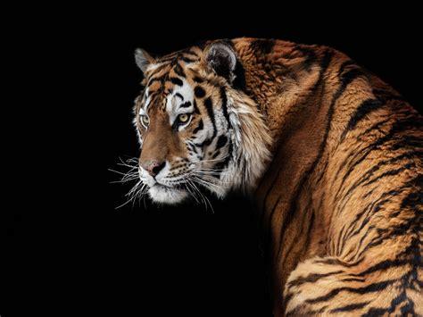 Wallpaper Amur tiger look back, face, black background ...