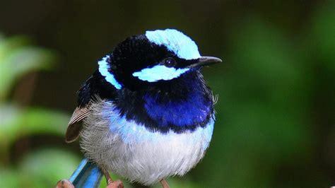 Wallpaper de un pájaro exótico azul   1920x1080 :: Fondos ...