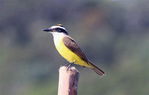 Wallpaper Wood, Yellow, Bird, Beak, Eye, Bem Te Vi images ...