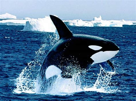 wallpapers: Orca Wallpapers