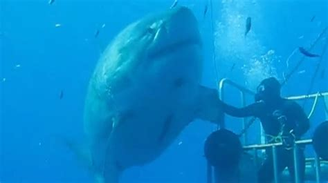 WATCH: Diver shakes the fin of a monstrous 20 foot great ...