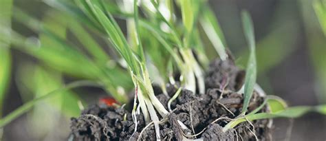 Weed of the Week: wild oats   The Western Producer