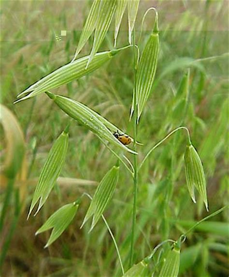 Weeds   Grass Weeds Information and Photo Gallery   Wild oats