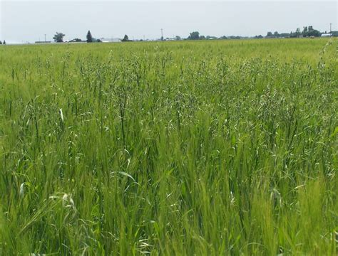 Weeds to Watch in Barley and Wheat: Kochia, Wild Oat ...