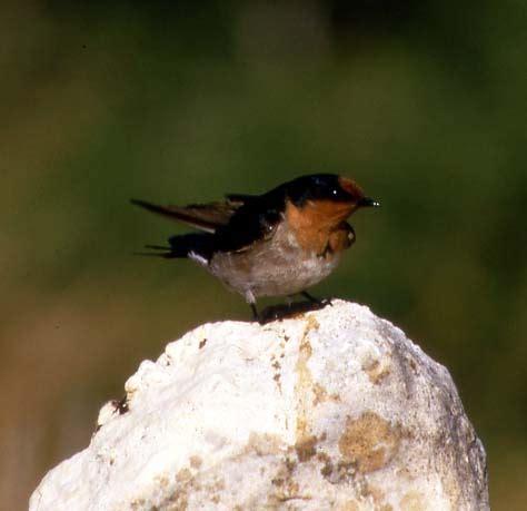 Welcome Swallow | BIRDS in BACKYARDS
