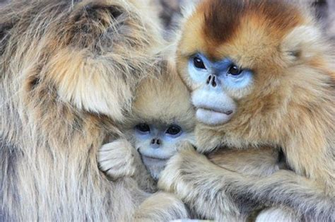 Welcome to FunnyDust: Chinese snub nosed  snow monkey   7 ...