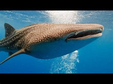 Whale Shark Video: Swim side by side with 35 feet Giant ...