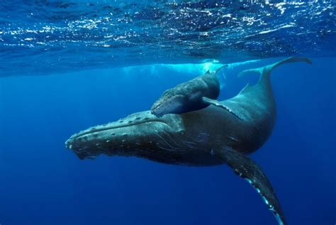 whale, Whales, Fish, Underwater, Ocean, Sea, Sealife ...