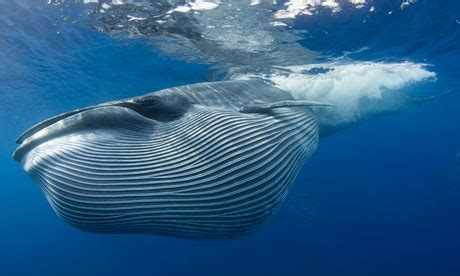 Whales flee from military sonar leading to mass strandings ...
