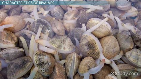 What Are Bivalves?   Definition, Characteristics ...