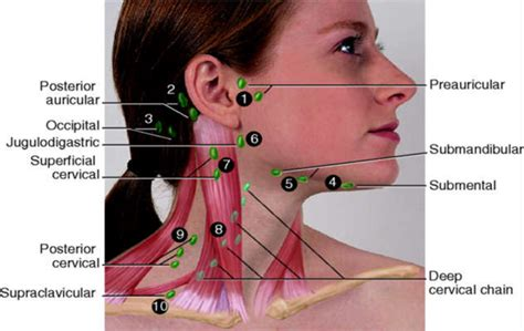 What are Lymph Nodes? Locations, Functions, Symptoms & Images