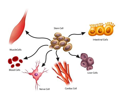 What are Stem Cells, Exactly? [Fact Sheet]