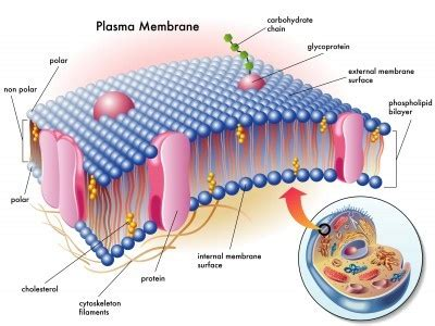 What are the components of a plasma membrane?   Quora