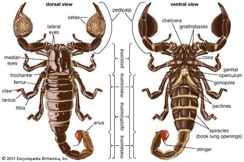 What are the differences between scorpions and spiders ...