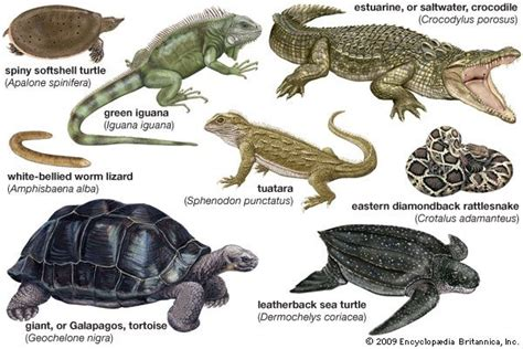 What are the existing 10 types of reptiles?   Quora
