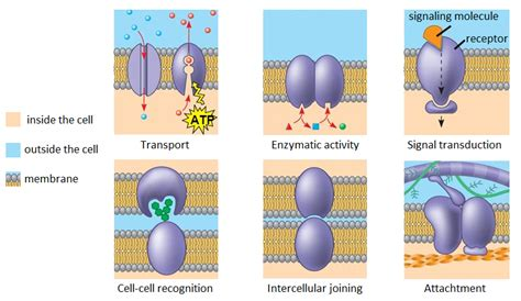 What are the five categories of proteins commonly found in ...