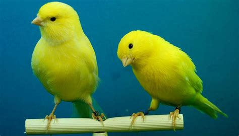 What can the canary genome tell us about the evolution of ...