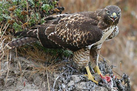 What Do Birds of Prey Eat?   Raptor and Hawk Diets