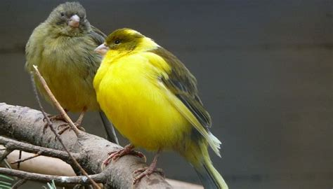 What Do Canaries Eat & Canaries As Pets, Canary Food