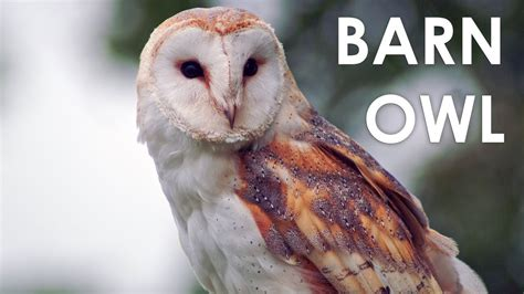 What does a Barn Owl sound like?   YouTube