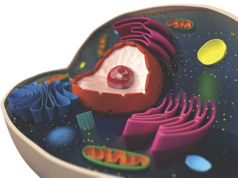 What does a cell s cytoplasm do? – How It Works