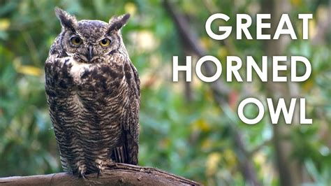 What does a Great Horned Owl sound like?   YouTube