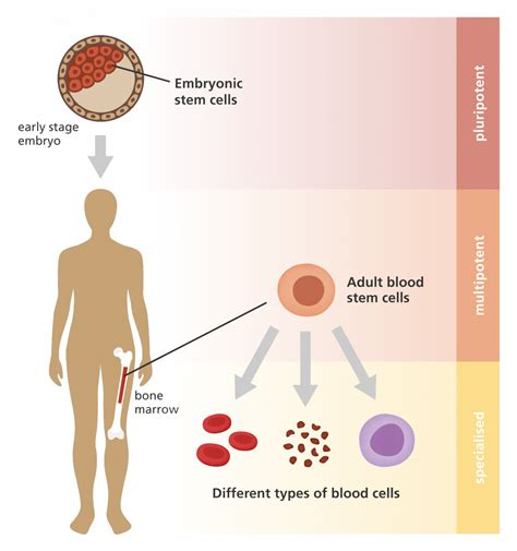 What is a stem cell? | Facts | yourgenome.org