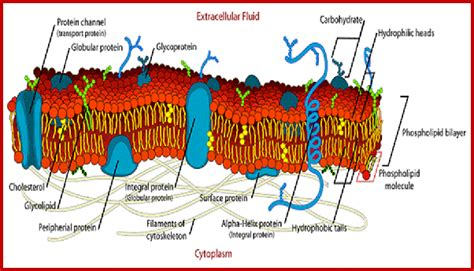 What is the difference between the plasma membrane and the ...