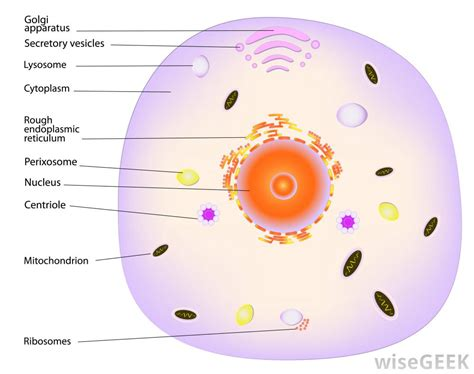 What Is the Function of Cytoplasm?  with pictures