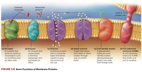 What is the main role of proteins within a cell membrane ...