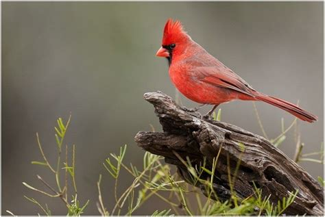What is the North Carolina State Bird? | WhatsAnswer