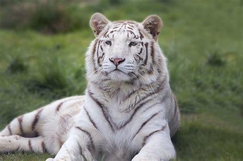 What Predators Eat White Tigers?   Joy of Animals