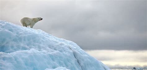 What Russia s Polar Bear  Invasion  Tells Us About Climate ...