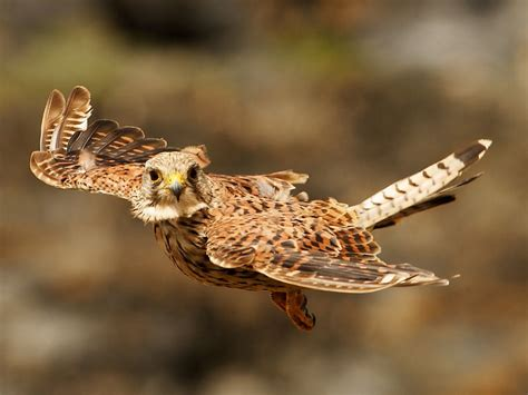 What s the commonest British bird of prey? | Wildlife Insight