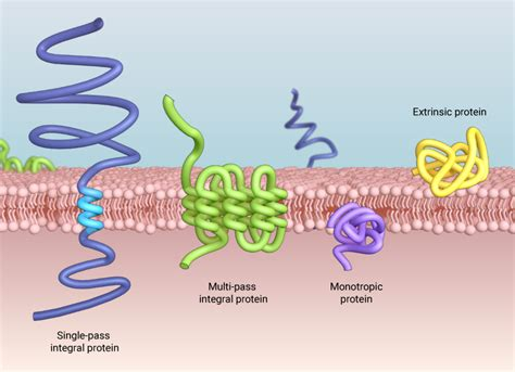 What types of proteins are found in the plasma membrane ...