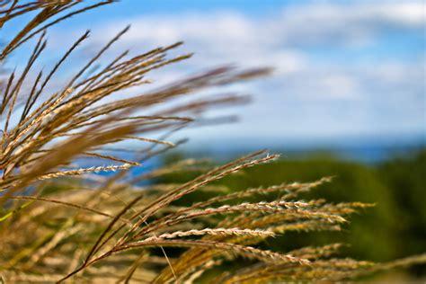 Wheat grass  wild oats  | Cristy McAuley | Flickr
