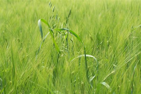 Wheat growers: How to manage herbicide resistant weeds ...